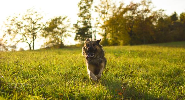 Snoopy running